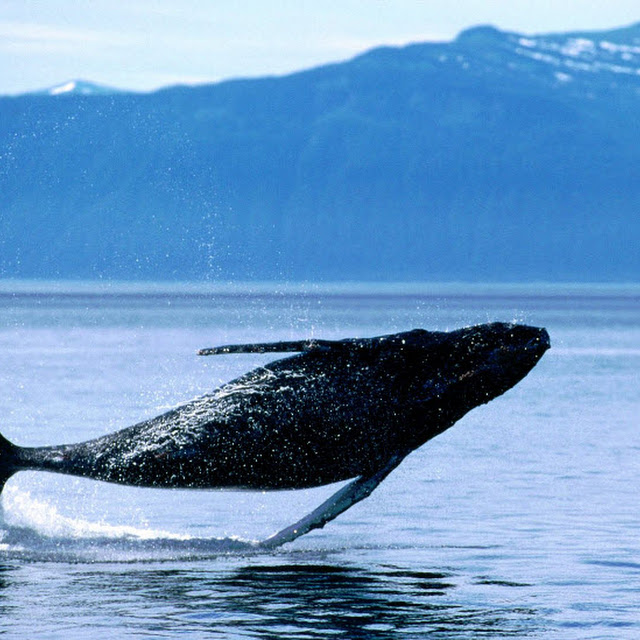 kumpulan gambar ikan paus