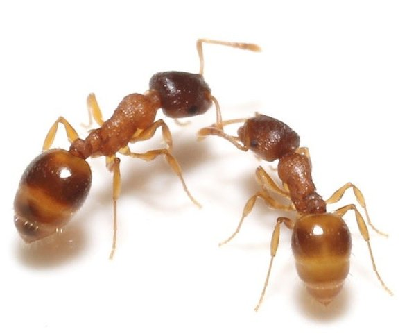 ant colony thesis This thesis proposes simultaneously, by using an ant colony optimisation  ant  colony, multi-objective optimisation algorithms are suitable for mobile ad hoc.