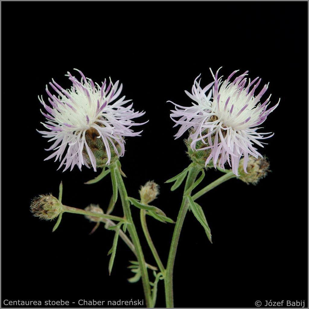 Centaurea stoebe - Chaber nadreński