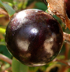 Flavors of Brazil: FRUITS OF BRAZIL - Jabuticaba