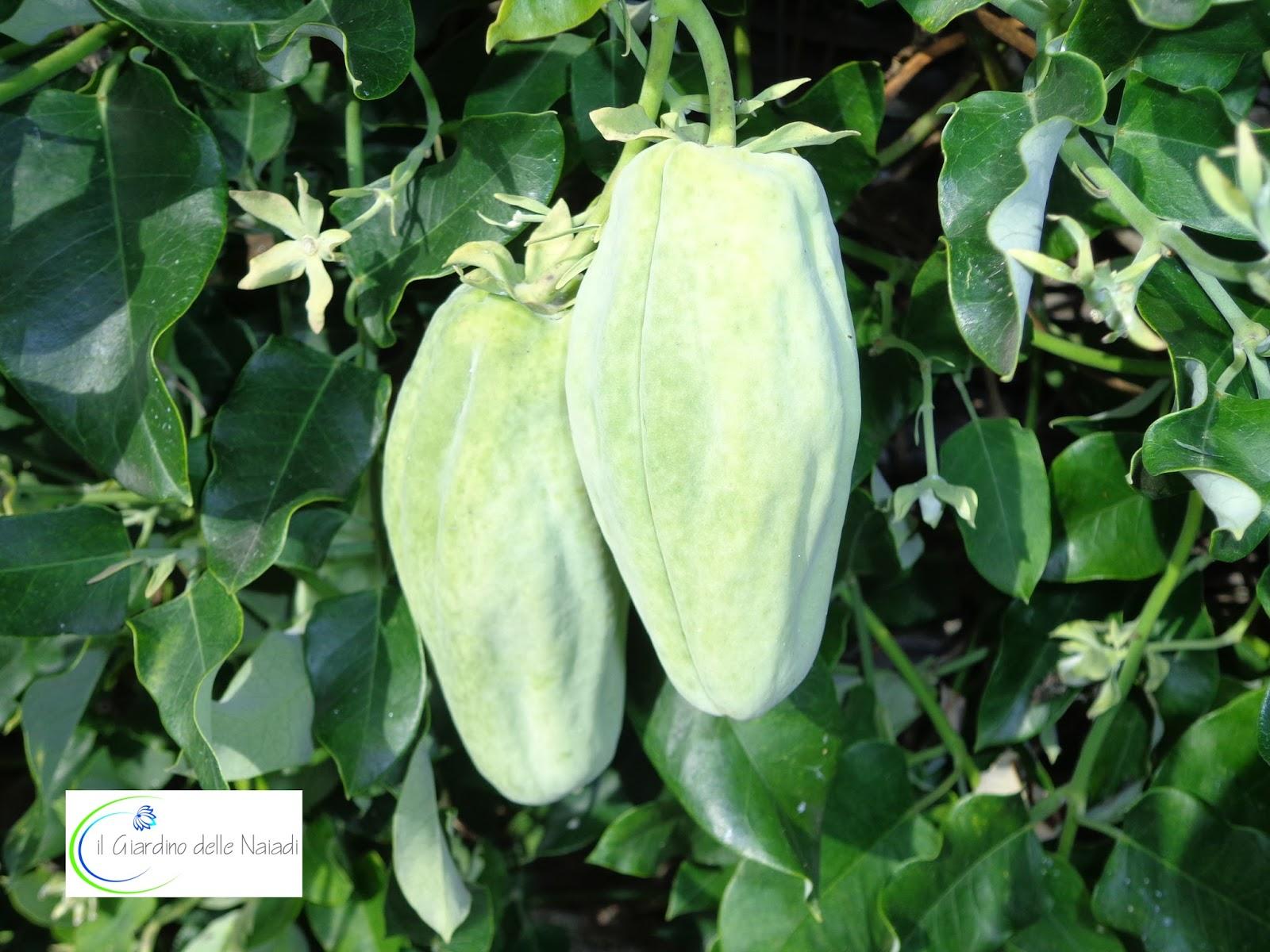 Il giardino delle naiadi araujia sericofera la pianta for Pianta con la p