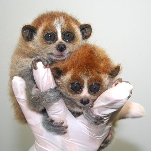 zooborns loris