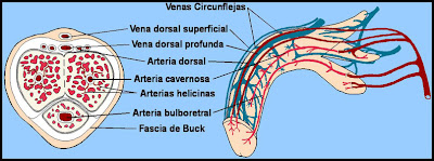 Imagen de la vasculatura del pene