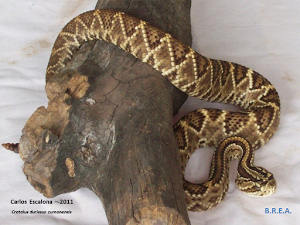 Crotalus durissus cumanensis