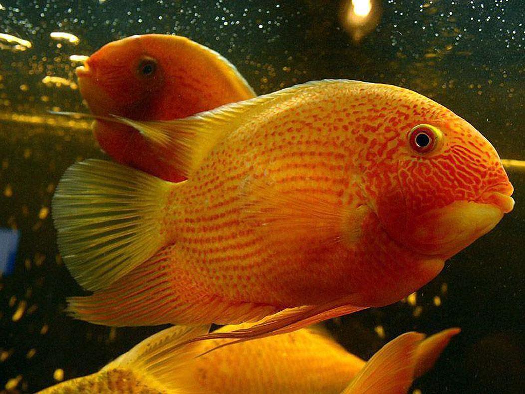 Freshwater aquarium fish high ph - Severum Fish Cichlasoma Severum Is One Freshwater Fish Species From