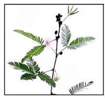 herbal plants in sri lanka pdf