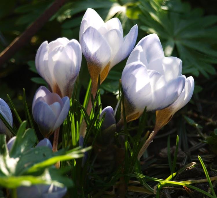 En af forårets smukke blomster er krokus