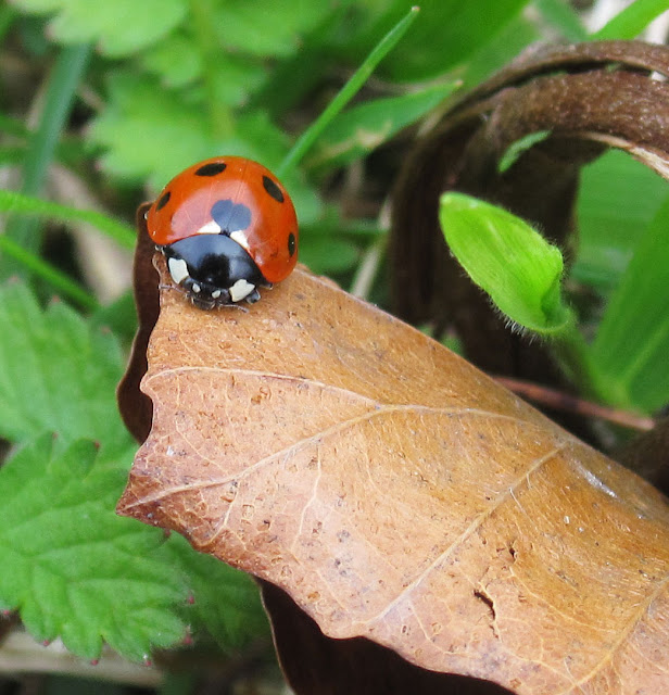 Seven spot ladybird on Musk Orchid Bank, Cudham Valley