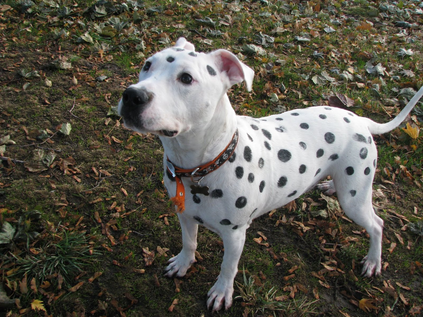 ador a bull dog blog october 2011