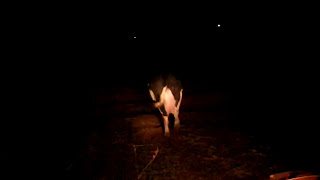 dairy cow in the dark