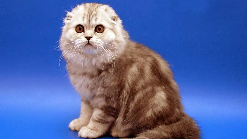 Scottish Fold (Cat) - ...
