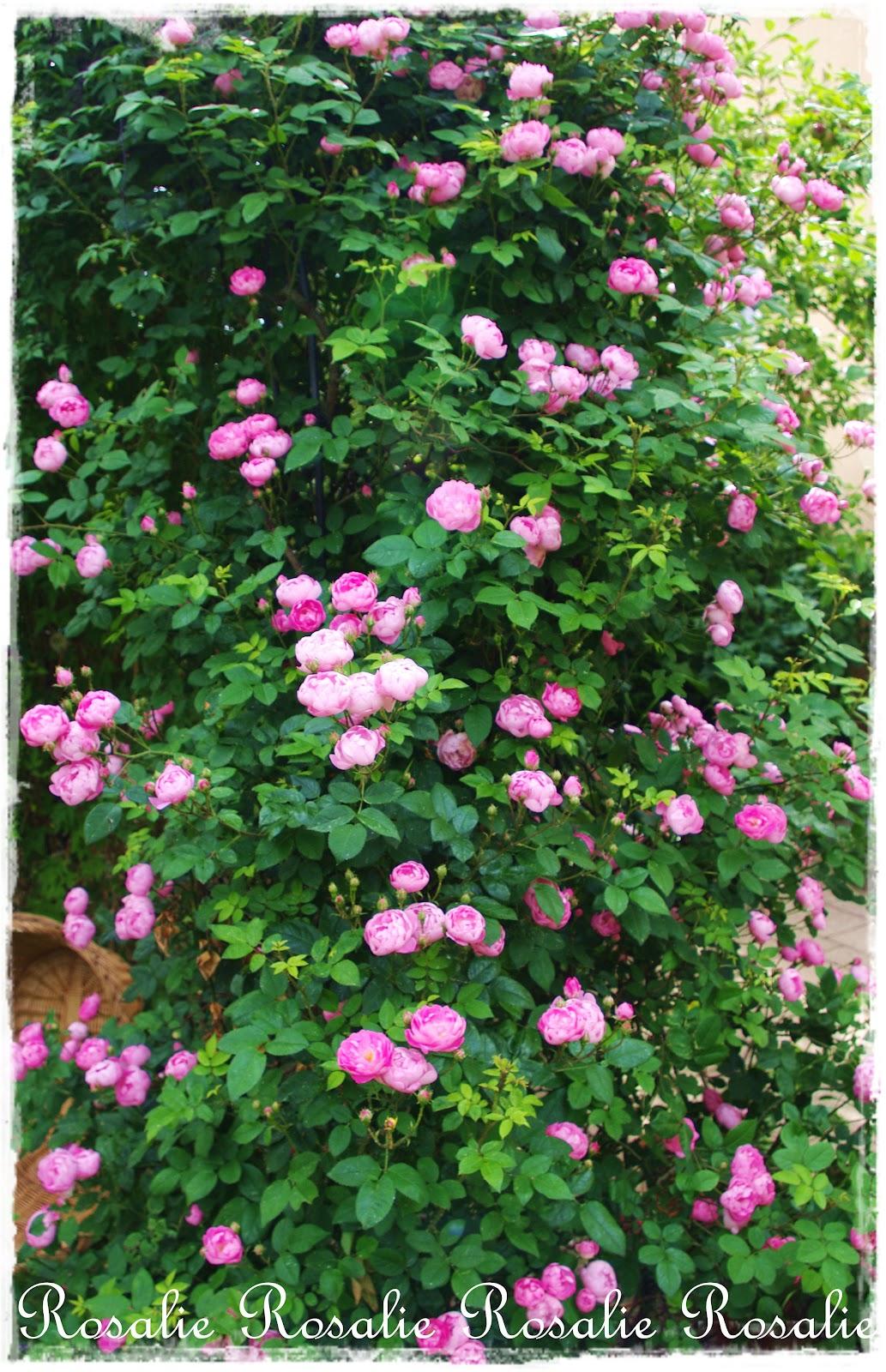 rosalies tr ume raubritter im rosaliegarten. Black Bedroom Furniture Sets. Home Design Ideas