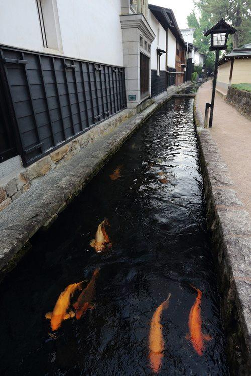 Selokan Kota Paling Bersih, Ikan Koi Hidup di Got