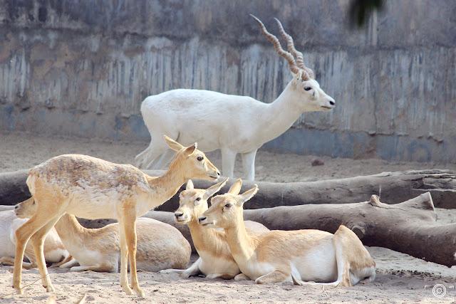 Family Meeting By Shashank Mittal Photography, Shashank Mittal, Photography, Shashank Mittal, Shashank, Mittal,, deer, white buck, chinkara, delhi, delhi zoo, asia, india, wild life