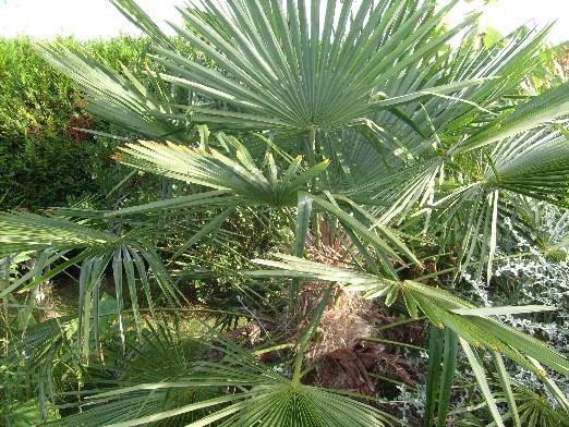 ma plan te jardin le palmier de chine rustique et tr s exotique. Black Bedroom Furniture Sets. Home Design Ideas