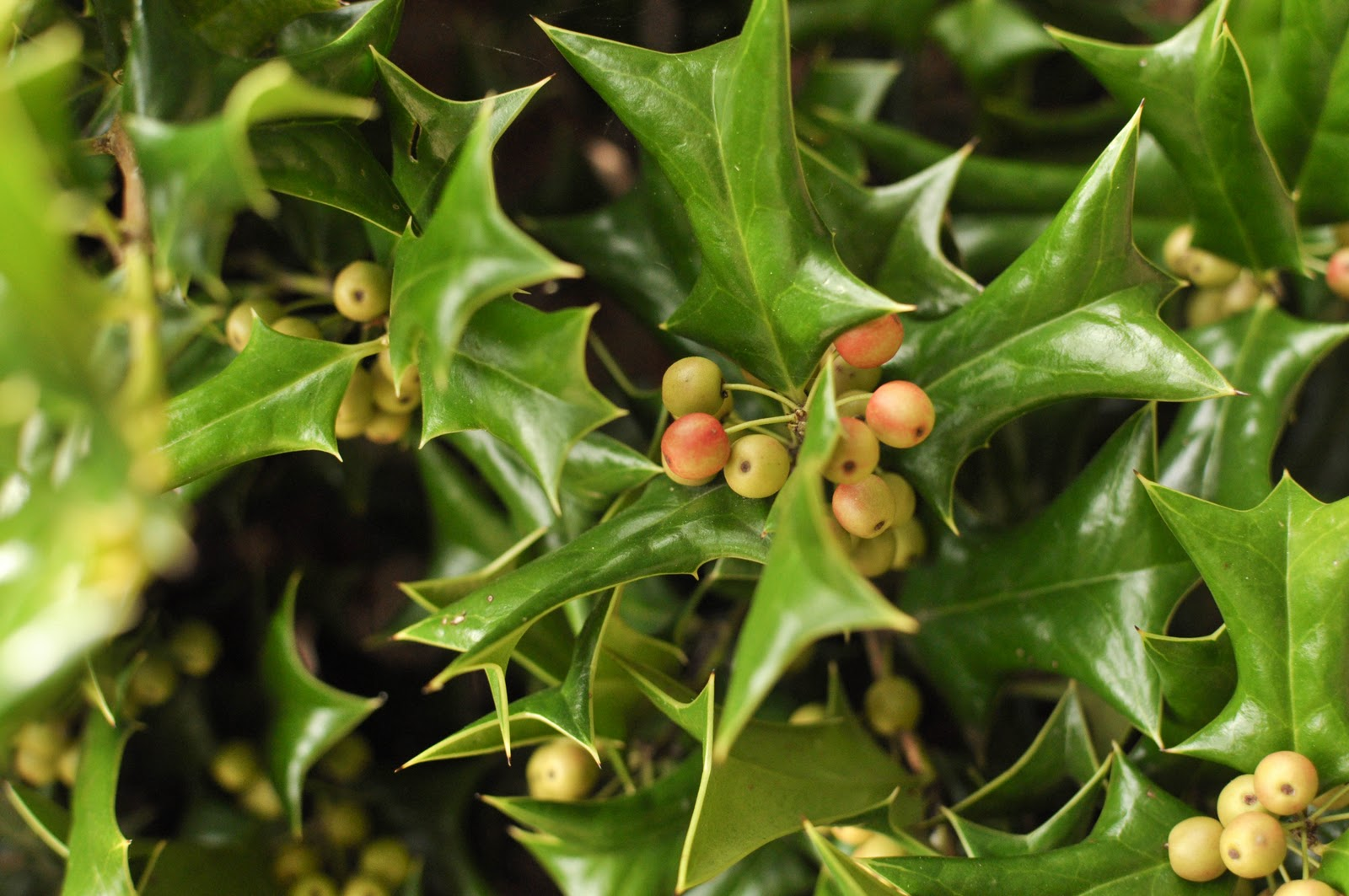 Holly Bush Types