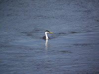 Western Grebe