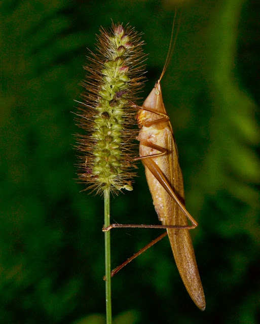 coneheaded katydid that looks like a grasshopper with a pointy head