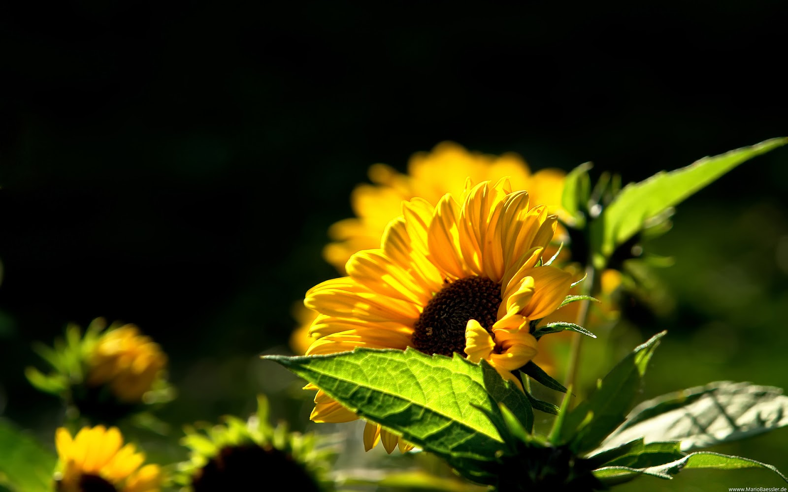 Sunflower Flower Wallpaper