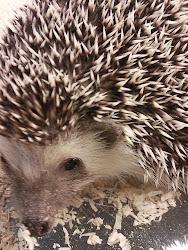 Hedgehog Muối Tiêu
