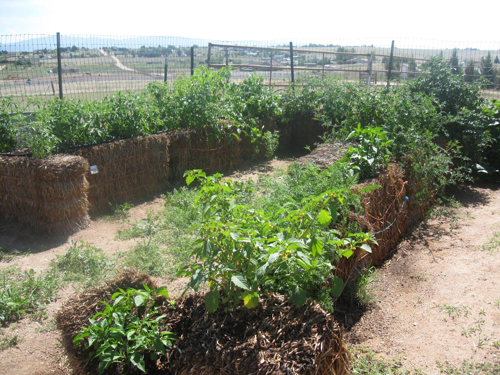 Выращивание помидоры под соломой 76