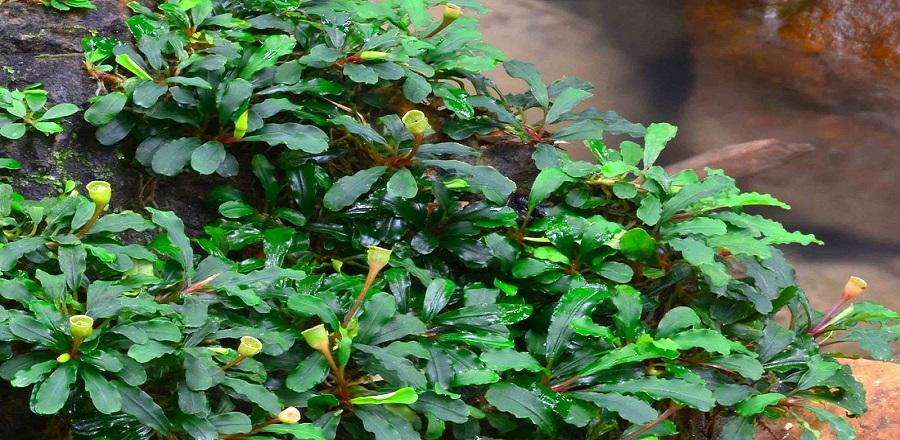 jenis tanaman aquascape ~ Aquascape Batang