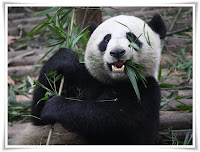 Giant Panda Animal Pictures