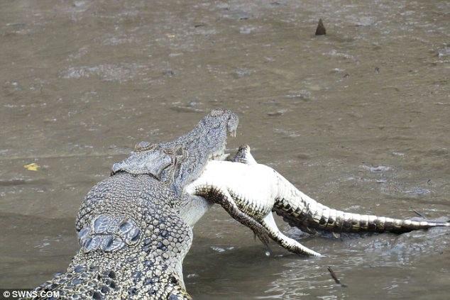 crocodile eats another crocodile