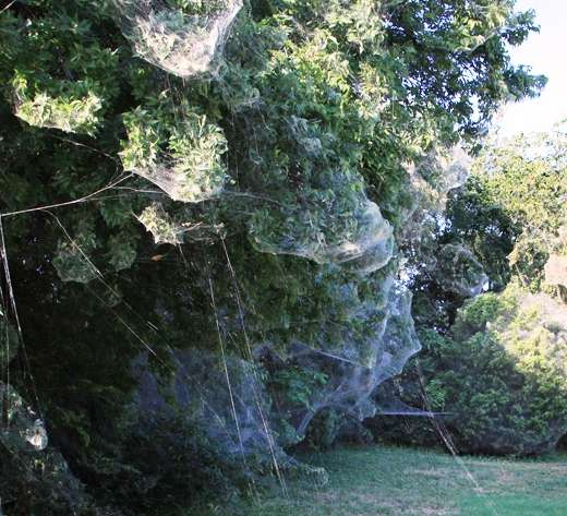 Massive communal spider webs appear in Dallas suburbs