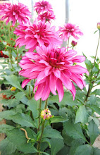 Dhalias