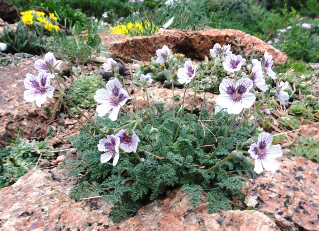 Prairiebreak The Greatest Rock Garden Plants