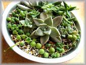 多肉植物(緑町のウェブ屋)