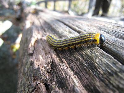 Caterpillar Hawk Mountain Sanctuary Kempton Pennsylvania PA 19529