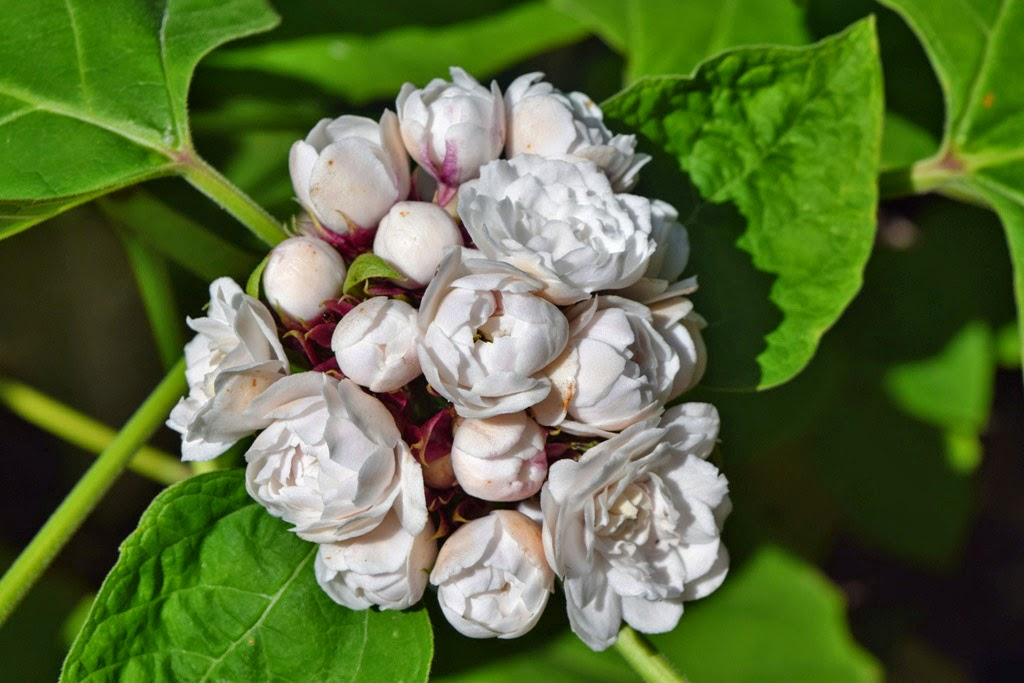 MARIETTE\'S BACK TO BASICS: {Clerodendrum Philippinum - Cashmere Bouquet}