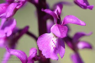 Fleurs orchis mâle, orchidée sauvage photo nature et macro