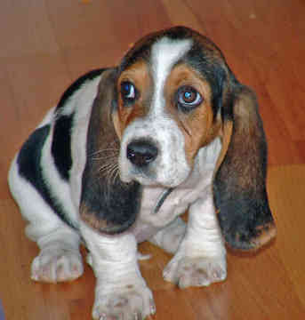 Basset Hound Puppies on Basset Hound Puppies Photos   Puppies Pictures Online