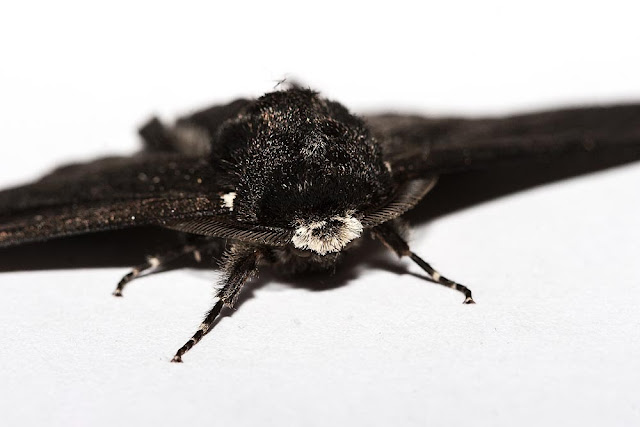 F.Carbonaria sub form of Peppered moth