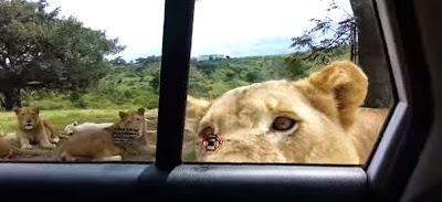 Λιοντάρι ανοίγει την πόρτα αυτοκινήτου στην Νότια Αφρική