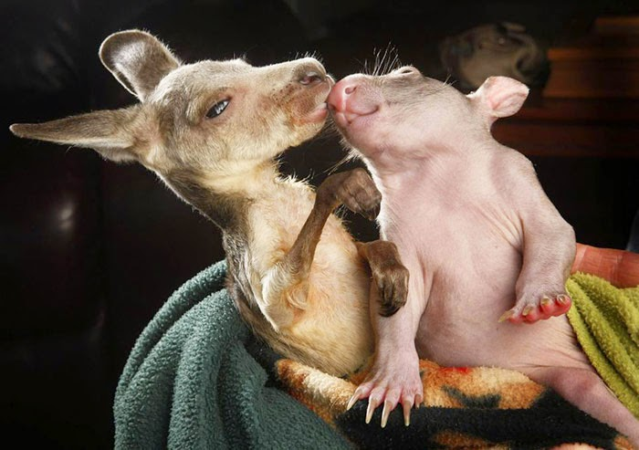 #17 Baby Kangaroo And Wombat - Unusual Animal Friendships That Are Absolutely Adorable!