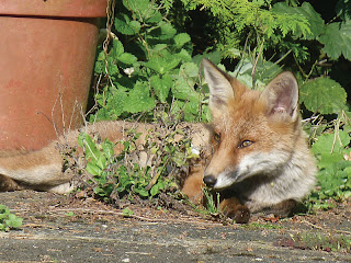 Visiting foxes - © Caroline Rayner