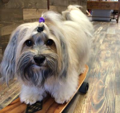 Rocco Havanese skateboard dog