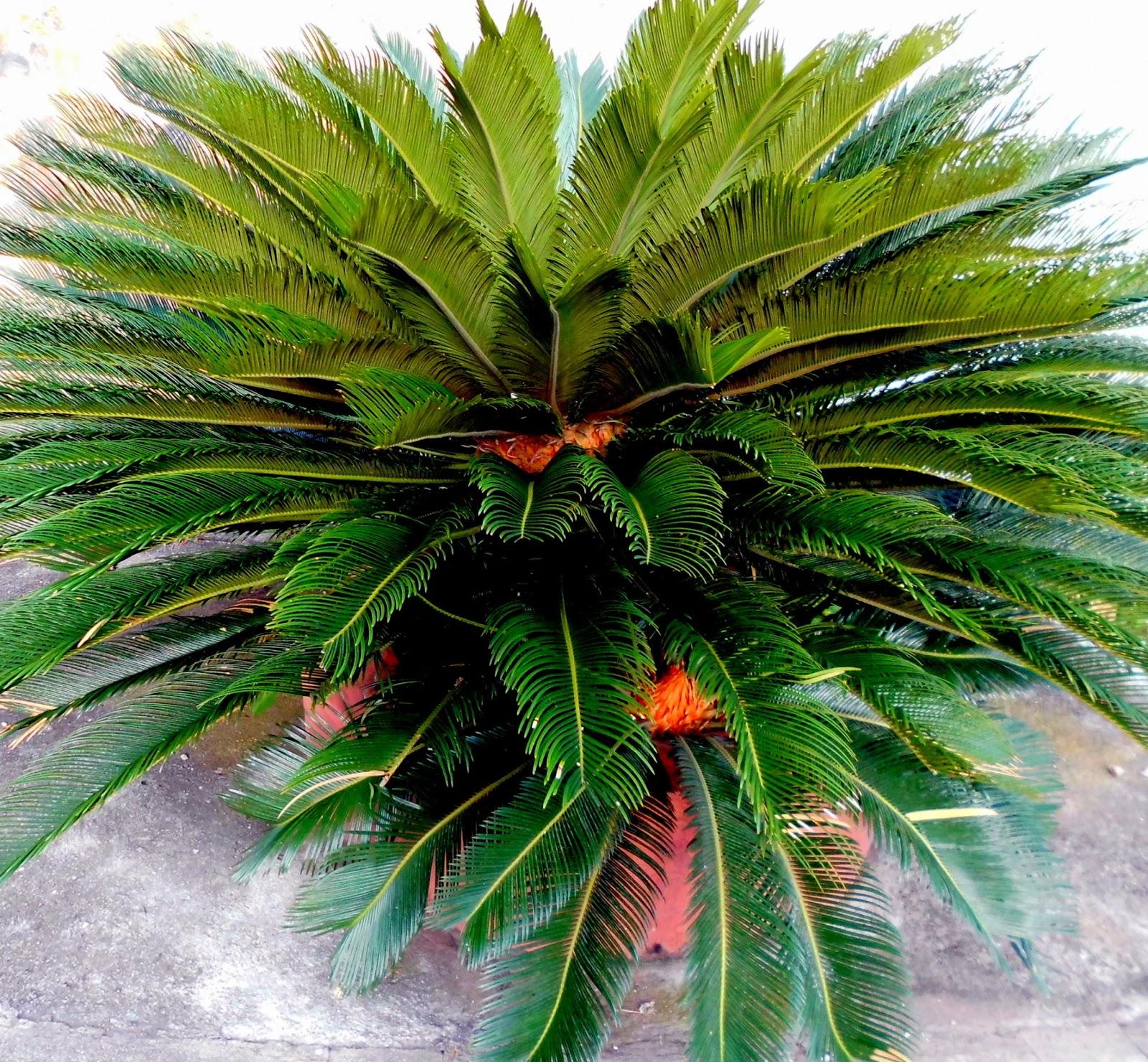 Planta Cyca Revoluta o Palma de Iglesia
