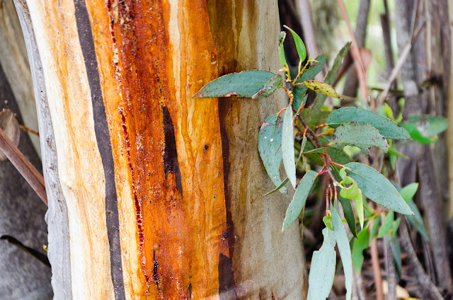 sap on the bark of eucalyptus tree