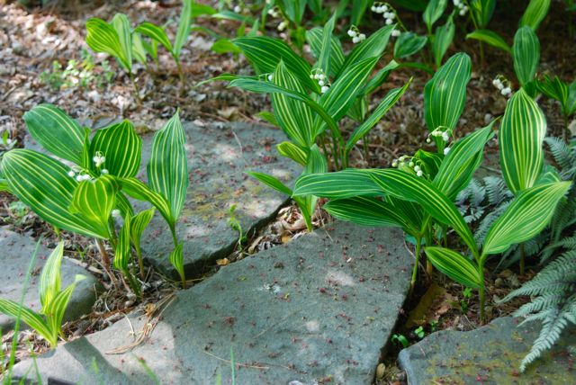 A variegated lily-of-the-valley, Convallaria majalis 'Albostriata'. Beautiful in the shade of the middle terrace!