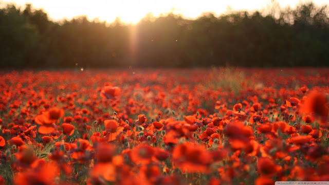 poppies, meadow, beautiful wallpapers