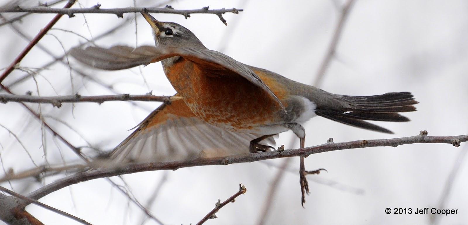 american robin bird flying - photo #34