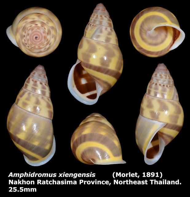 Amphidromus xiengensis 25.5mm