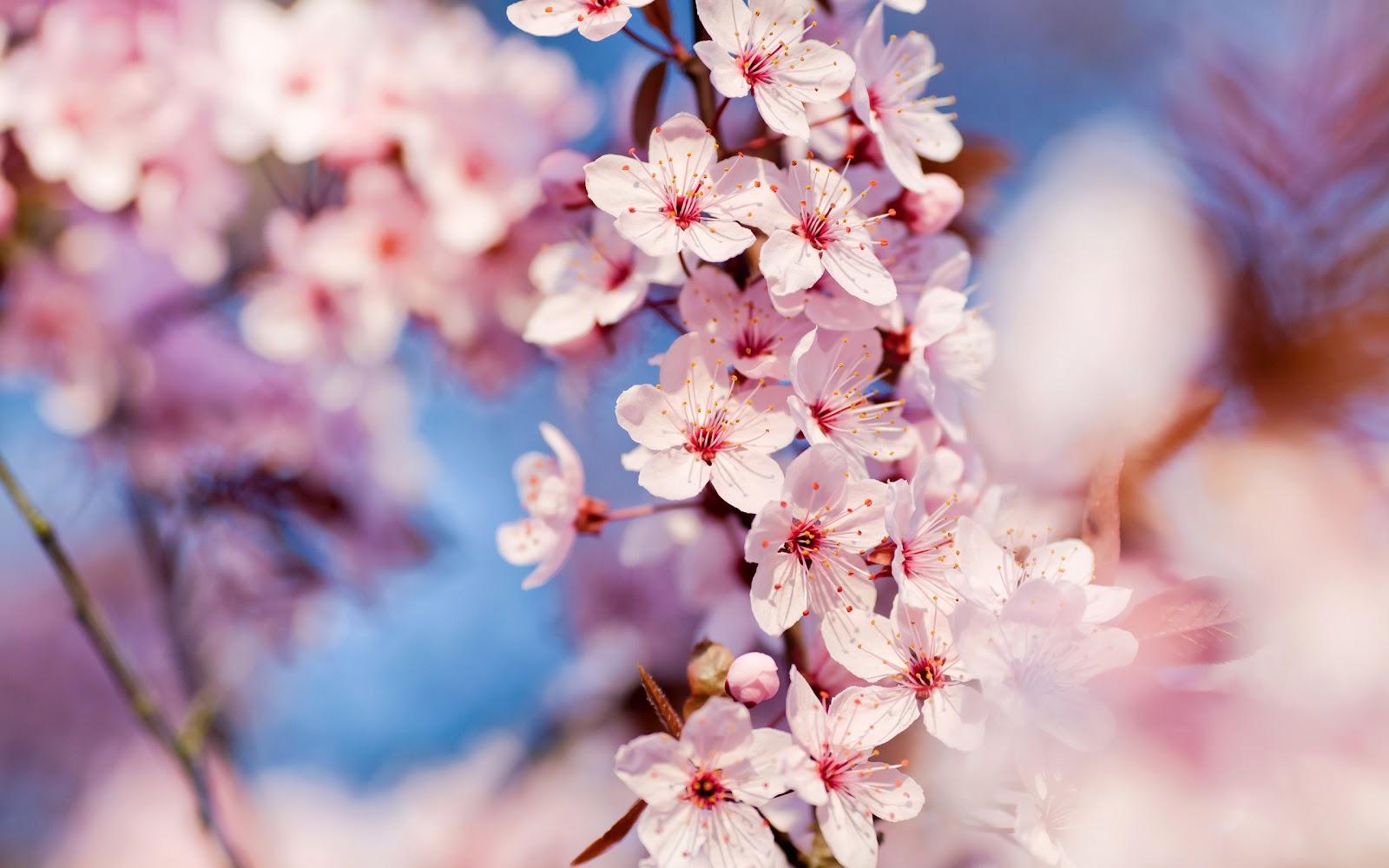 http://1.bp.blogspot.com/-klH0uFlcoEE/T1M7s9AohAI/AAAAAAAAB_U/If2K5iLKQbc/s1600/cherry-blossoms.jpg
