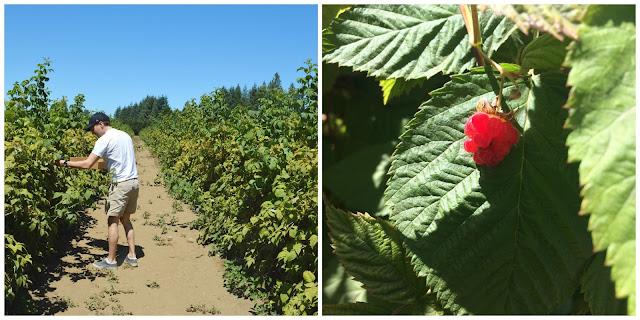 Raspberry picking at Remlinger Farms