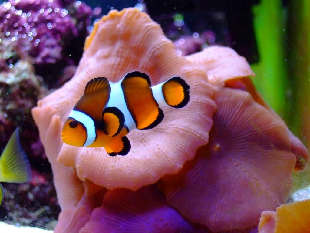 Ornamental aquarium fishes clown fish sea for Freshwater clown fish